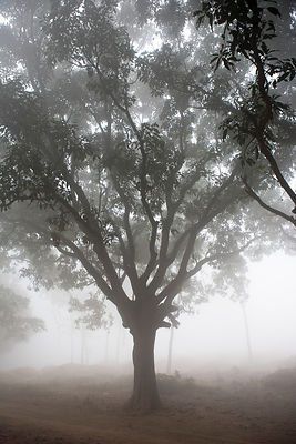 Manguiers dans la brume matinale, Lumbini, Népal / Mango trees in the morning mist, Lumbini, Nepal