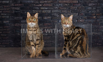bengal cats in a box - boxed set