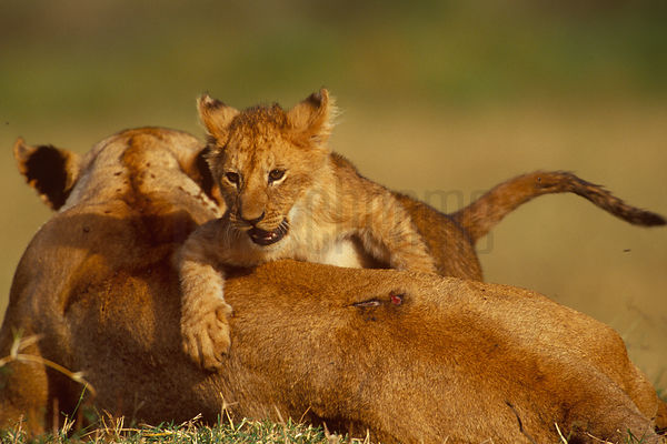 A Lion Cub Plays on its Mother