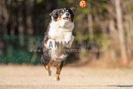 australian shepherd jumping up to catch orange ball