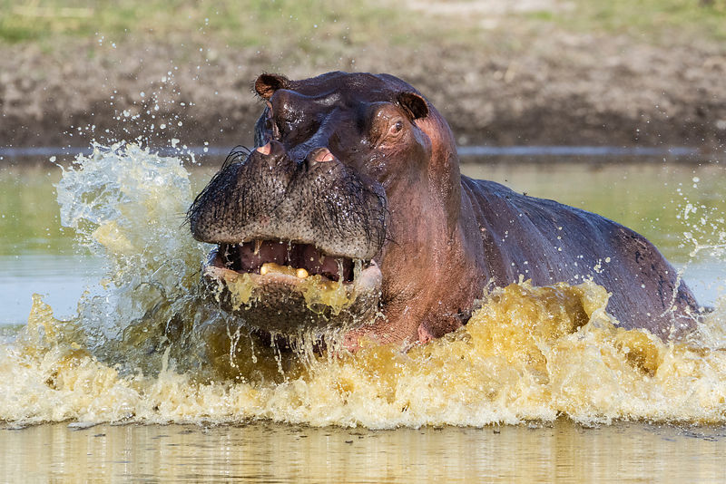 Young Male Hippo Rising out of a Waterhole in a Show of Mock Defiance