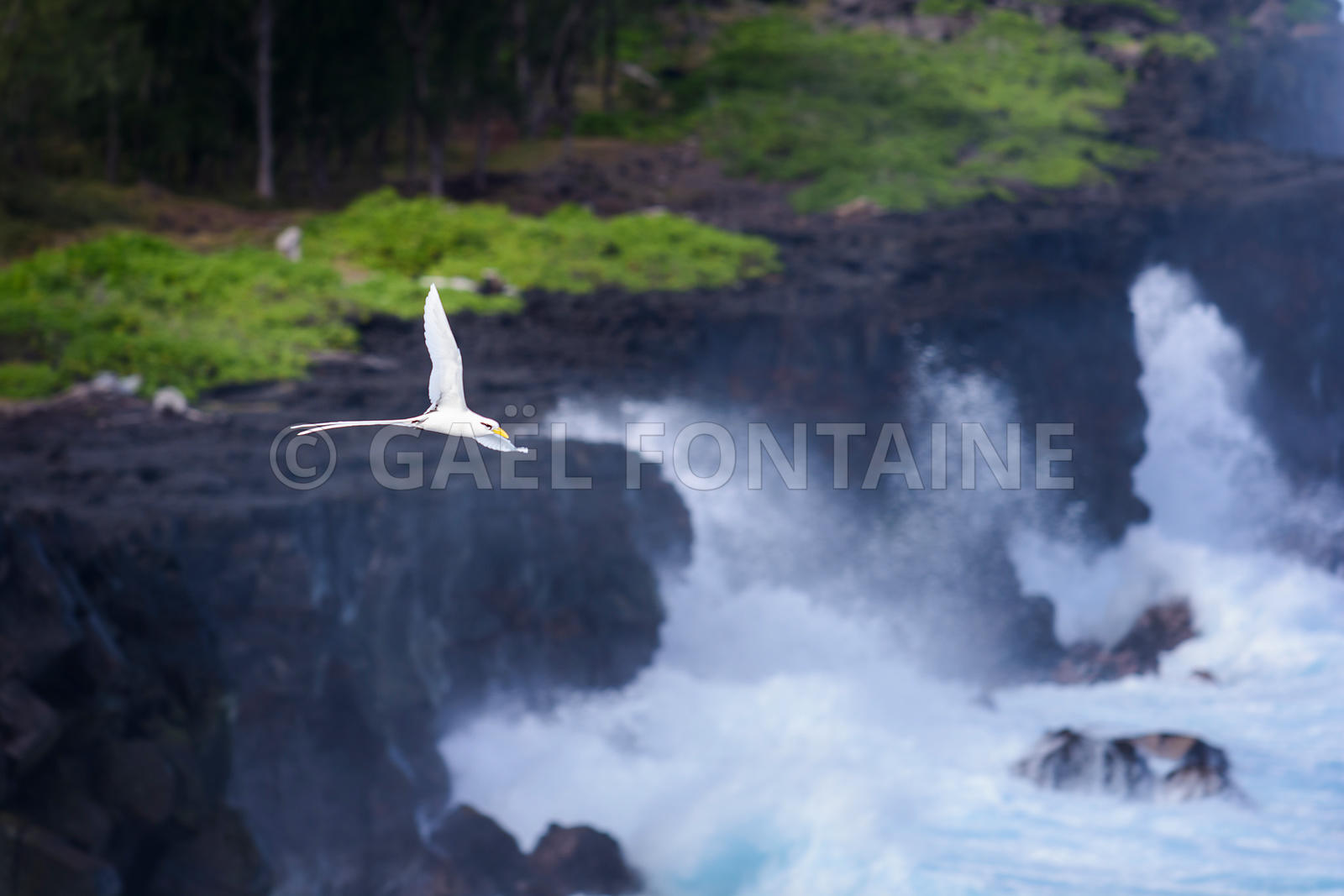 Le Paille en Queue, Ile de La Réunion
