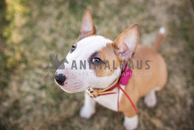 cheeky bull terrier puppy