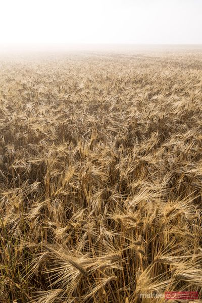 Wheat field in a foggy day