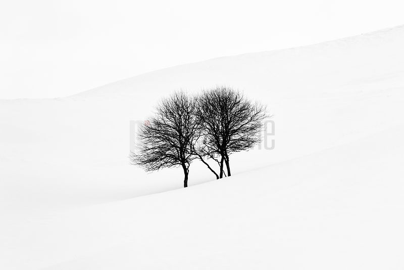 A Pair of Apple Trees in Snow Covered Field