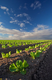 Lettuce Fields near Yuma #2