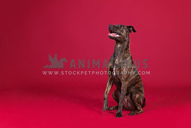 Brindle crossbreed in studio with red backdrop