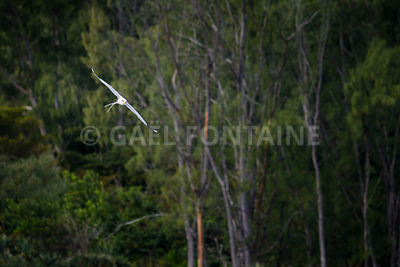 Paille en Queue or Phaeton bird, Reunion island