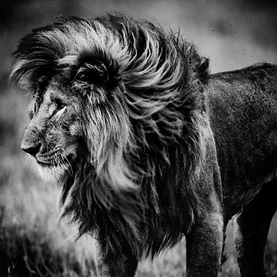 4499-Lion_Scarface_Kenya_2015_Laurent_Baheux