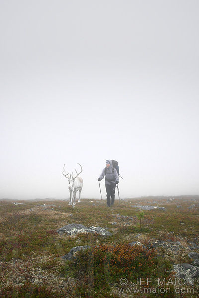 Reindeer hiking