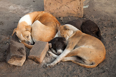 A group of stray dogs tries to stay warm by sleeping on the embers of a fire made by people, Varanasi, India.