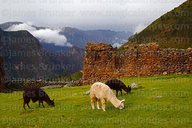 Alpacas (Vicugna pacos) grazing in front of Inca building in Pumamarca site,  Patacancha Valley, Cusco Region, Peru