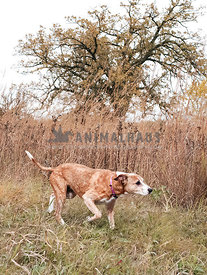 Senior large mutt pointing in a field