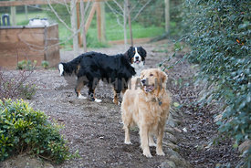 Golden Retriever and  Bernese Mountain Dog standing outside