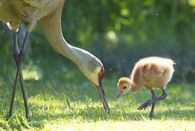 May - Sandhill Crane with young