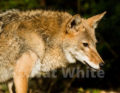 Coyote-Triple_D_wildlife-22017-2048-July_31_2017