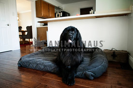 black Newfoundland laying on dog bed in kitchen