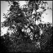 4978-Zebra_hidden_in_the_dense_vegetation_South_Africa_2004_Laurent_Baheux