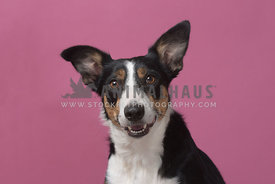 Tricolored border collie smiling in studio against pink background