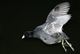 January - American Coot