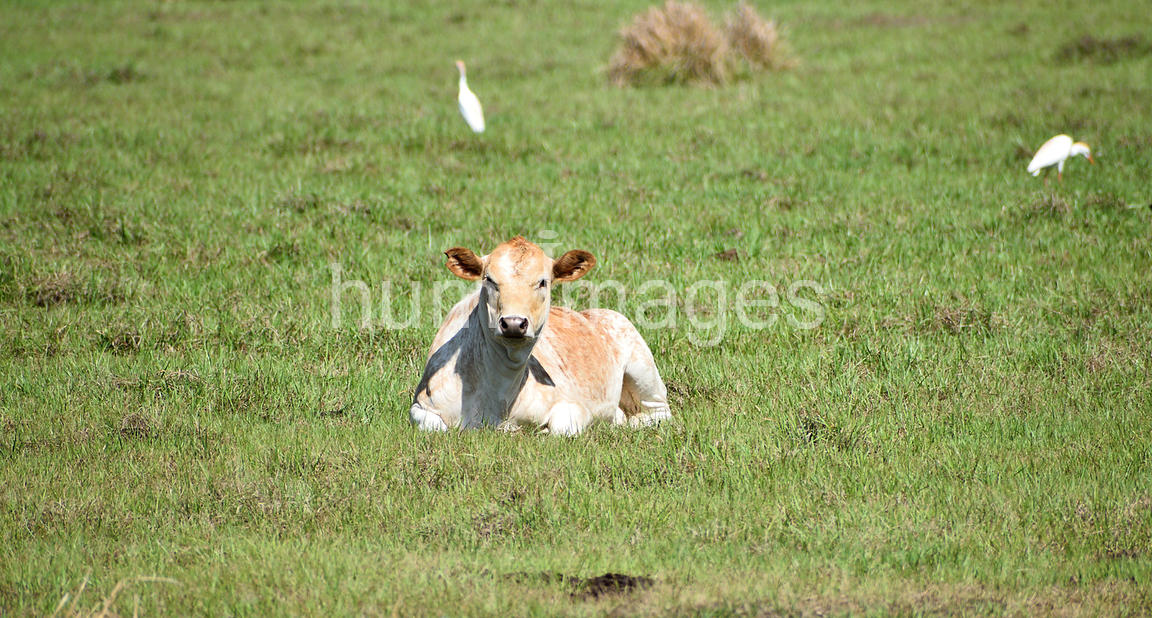Animal Stock Photos: Cow Relaxing in Pasture with Cattle Egrets (Bubulcus ibis)