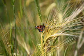 Red Admiral On Barley, Off Flag Lane North