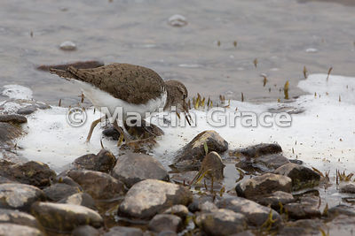 Common Sandpiper (Actitis hypoleucos) feeding on dead insects lying on the foam at the margin of Lochindorb, Inverness-shire,...