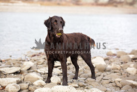 Flatcoat standing with ball next to river
