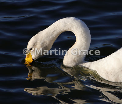 Close-up of head and neck of Whooper Swan (Cygnus cygnus), Dumfries & Galloway, Scotland