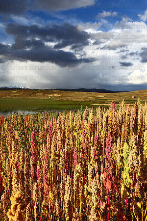 Field of quinoa plants ( Chenopodium quinoa ) growing on altiplano against sky , Bolivia