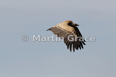 Eurasian Griffon Vulture (Gyps fulvus) in flight, La Portilla del Tietar, Monfrague National Park, Extremadura, Spain