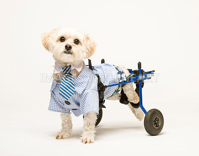 Small handicapped white fluffy dog in dress shirt and wheels.jpg