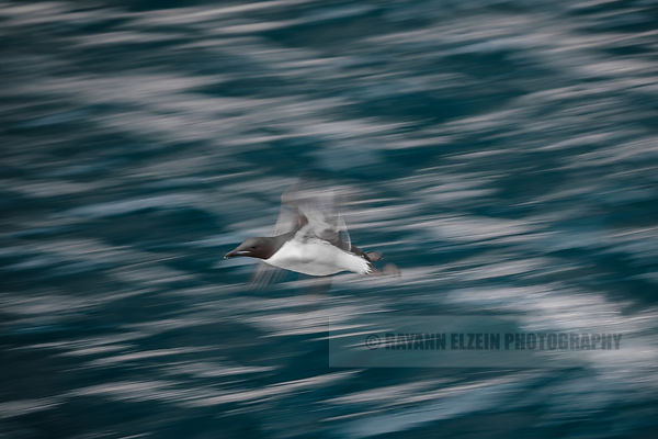 Slow shutter photo of a Brünnich's guillemot
