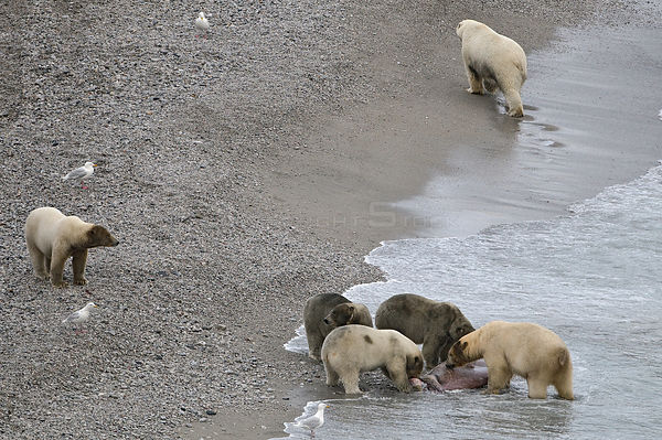 Polar bear (Ursus maritimus) group feeding on Walrus carcass on beach, Wrangel Island, Far Eastern Russia, September.