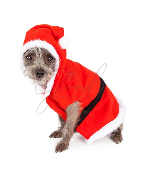 Terrier Dog Dressed as Santa