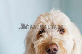 Goldendoodle peaking with blue background