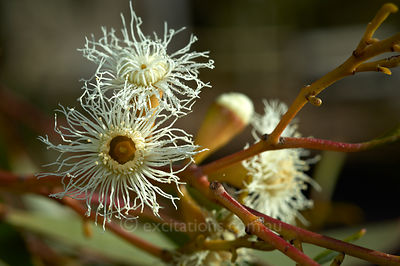 Close up flower of Mallee.