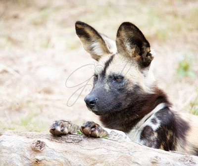 African_Wild_Dog_Paws_on_Branch