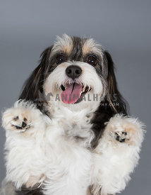 dog looking into camera with paws up in gray studio
