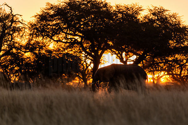 Elephant Sillhouette at Sunset