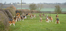 Belvoir hounds at the meet at Highfield Farm