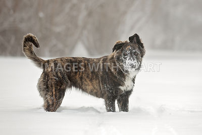 Large mixed breed with his face covered in snow