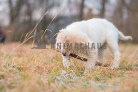 Little puppy playing with a stick in dry grass