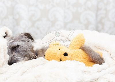 Tired Dog Sleeping With Teddy Bear