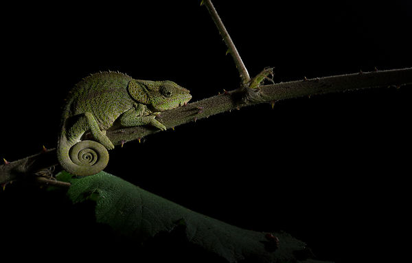 A Short Horned Chameleon seen in Mitsinjo Reserve, Andasibe