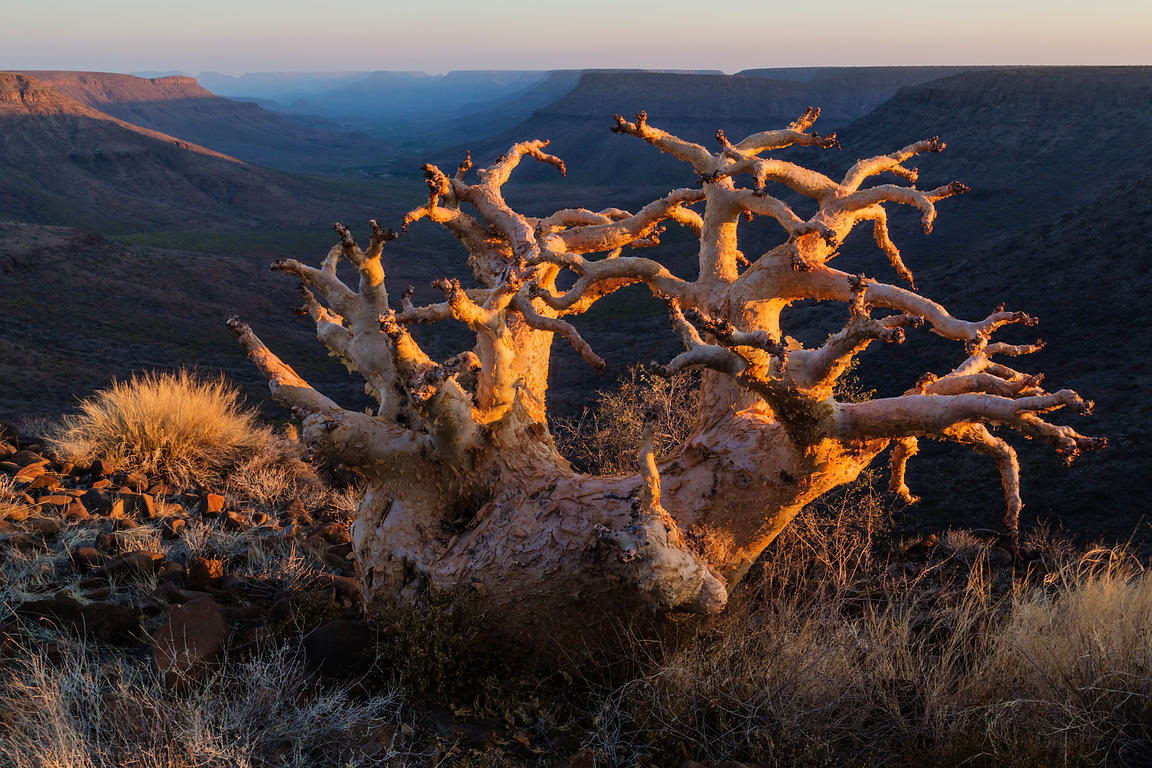 Cycostemma or Butter Tree and Grootberg Canyon at Sunset