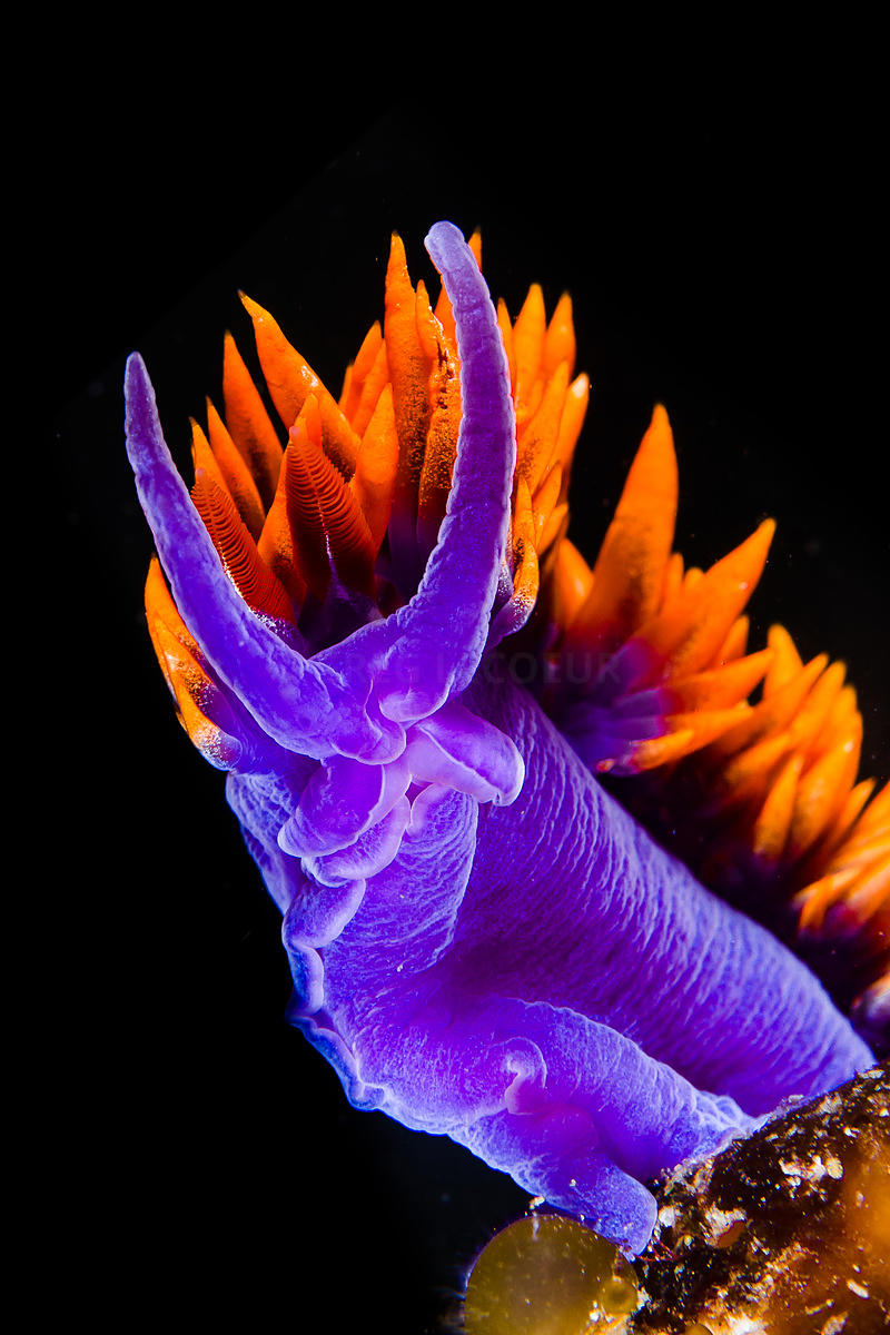 Spanish Shawl nudibranch, Flabellina iodinea, Channel Islands, California