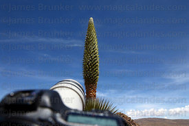 Taking close up photos of a Puya raimondii plant in flower with a Canon DSLR camera