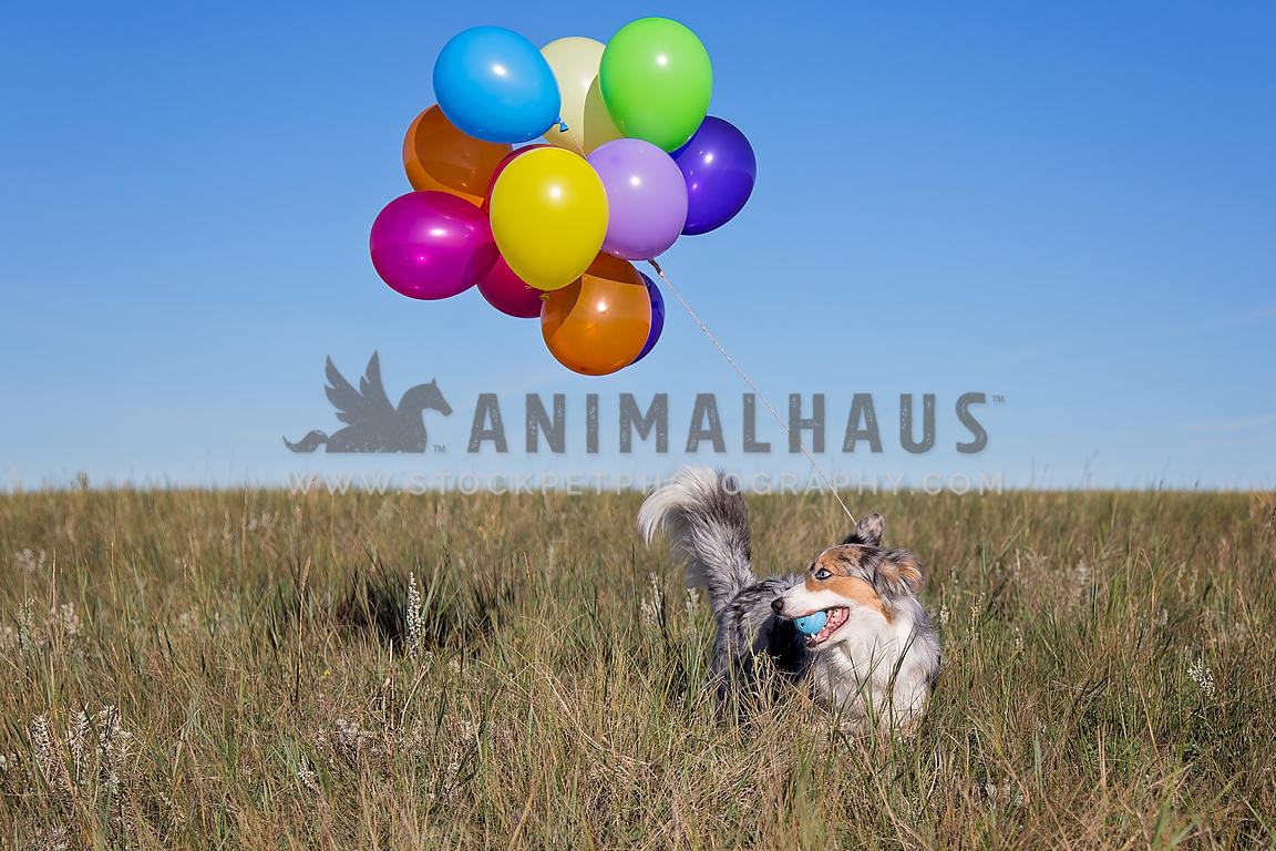 Dog with balloons in field