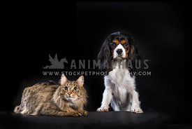 Cat and dog pose together in studio